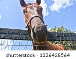 Beautiful Brown Horse Looking...
