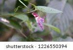 a parrot flower  tien nok keaw   | Shutterstock . vector #1226550394