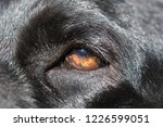 detail of black labrador... | Shutterstock . vector #1226599051