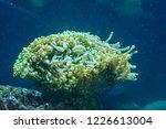 euphyllia is a genus of large... | Shutterstock . vector #1226613004