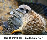 suricata animal nature | Shutterstock . vector #1226613427