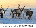 Herd of reindeer in winter...
