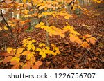 yellow leaves in a beech forest ... | Shutterstock . vector #1226756707