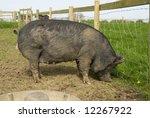 Berkshire Sow Pig  British Rar...