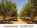 Olive Tree Orchard Near...