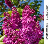 Bunch Of Lilac Flower