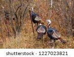 Eastern Wild Turkeys  Meleagri...