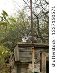 grey grumpy cat on roof of barn | Shutterstock . vector #1227150571