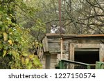 grey grumpy cat on roof of barn | Shutterstock . vector #1227150574