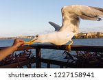 Child Hand Feeding Seagull Wit...