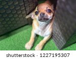 friendly puppy chihuahua... | Shutterstock . vector #1227195307