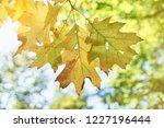 autumn oak leaves. bright... | Shutterstock . vector #1227196444