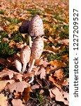 plants  shaggy ink cap on a... | Shutterstock . vector #1227209527
