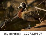 White Faced Whistling Duck. ...