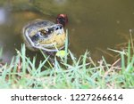 turtle swimming in the lake.... | Shutterstock . vector #1227266614