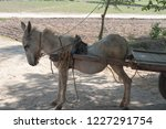 A Injured Spinal Cord Donkey In ...