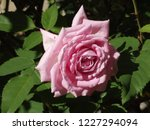 Small photo of Large belinda's dream pink rose bloom