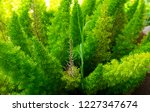 vibrant small evergreen plant | Shutterstock . vector #1227347674
