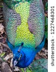 detail of colorful peacock... | Shutterstock . vector #1227468301
