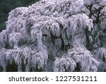 weeping cherry blossoms   Shutterstock . vector #1227531211