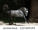 Andalusian Horse Galloping Nea...