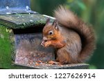 Closeup On A Red Squirrel...