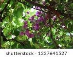 bouganvillea flowers in pale... | Shutterstock . vector #1227641527