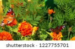 european peacock butterfly sits ...   Shutterstock . vector #1227755701