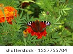 european peacock butterfly sits ...   Shutterstock . vector #1227755704