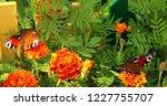 european peacock butterfly sits ...   Shutterstock . vector #1227755707