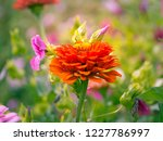 orange flower of zinnia growing ... | Shutterstock . vector #1227786997