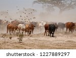 masai cows in amboseli national ... | Shutterstock . vector #1227889297