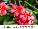 red frangipani flower with... | Shutterstock . vector #1227929971