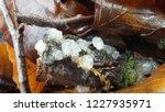 Fungi Of Scotland  Exidia...