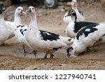 domestic fed domestic ducks ... | Shutterstock . vector #1227940741
