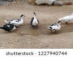 domestic fed domestic ducks ... | Shutterstock . vector #1227940744