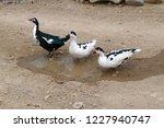 domestic fed domestic ducks ... | Shutterstock . vector #1227940747
