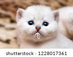 Stock photo portrait of a little white kitten who drank milk and stained the muzzle the head of a cute kitten 1228017361