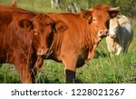 limousin cattle are a breed of... | Shutterstock . vector #1228021267