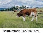 a cow on a big green alpine...   Shutterstock . vector #1228023091