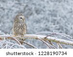 Stock photo beautiful ural owl in snow winter scene with ural owl unique owl portrait winter scenery with 1228190734