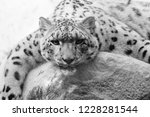 a snow leopard lounging on a... | Shutterstock . vector #1228281544