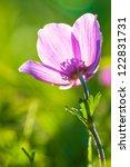 poppy anemone  anemone...