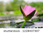 lotus solitary in the pond   Shutterstock . vector #1228437307