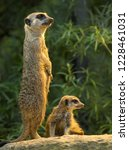 adult and young meerkats ... | Shutterstock . vector #1228461031