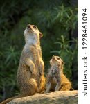 adult and young meerkats ... | Shutterstock . vector #1228461094