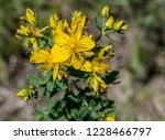 st john wort. a medical plant... | Shutterstock . vector #1228466797