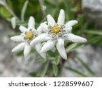 edelweiss beautiful mountain... | Shutterstock . vector #1228599607