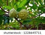 Bright Custard Apple Fruits ...