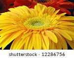 Yellow gerbera daisy with orange and red daisies in the background.  Macro with shallow dof and selective focus on  center of flower. - stock photo
